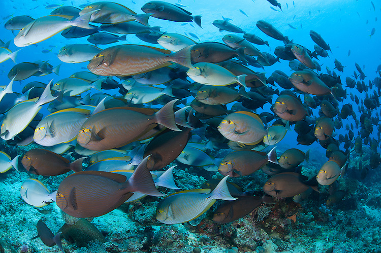 Yellowmask surgeonfish: Acanthurus mata, in a dense school, Komodo National Park