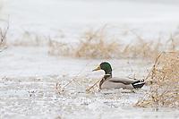 00729-02213 Mallard (Anas platyrhynchos) male in wetland in winter, Marion Co. IL