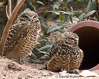 0723-1102  Western Burrowing Owl (Northern Borrowing Owl), Restoration Effort for Endangered Owl Species Using Artificial Burrow Entrance, Athene cunicularia hypugaea  © David Kuhn/Dwight Kuhn Photography.
