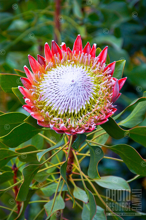 A large protea flower from the Upcountry of Maui. (p. cynaroides)