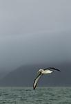 Buller's Albatross (Thalassarche bulleri) flying over ocean, Kaikoura, South Island, New Zealand