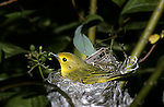 Yellow warbler Dendroica petechia wild canary on nest brooding eggs