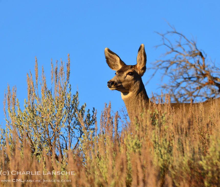 A mule deer doe keeps a keeps a keen eye for danger on a crisp autumn morning.