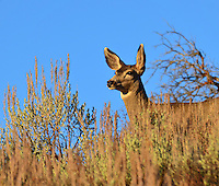 A mule deer doe keeps a keeps a keen eye for danger on a crisp autumn morning.