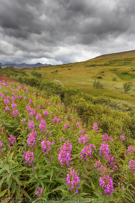 Fireweed blossoms in Sable Pass, Denali National Park, Alaska.