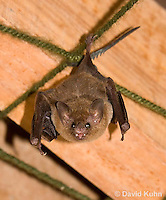 0715-1113  Seba's Short-tailed Bat, Roosting in Building in Belize, Carollia perspicillata  © David Kuhn/Dwight Kuhn Photography