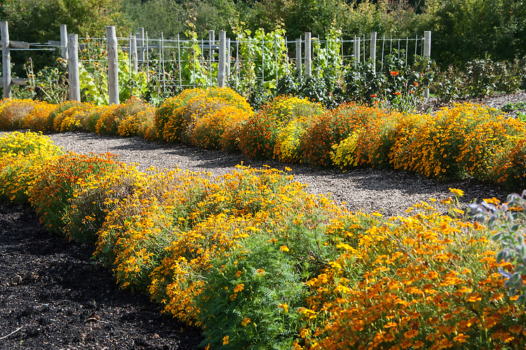 Marigolds lining a path in the vegetable garden at Sissinghurst, late September.