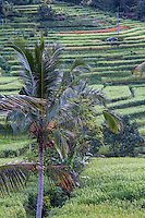 Jatiluwih, Bali, Indonesia.  Terraced Rice Paddies.  Coconut Palm in Foreground.