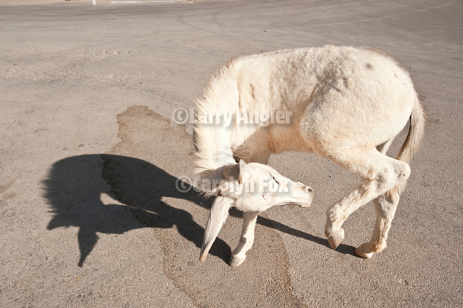 A white baby burro pirouettes in the street with his shadow, Oatman, Ariz.