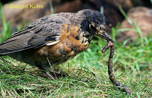 RO07-029z   American Robin - young catching prey, a worm - Turdus migratorius