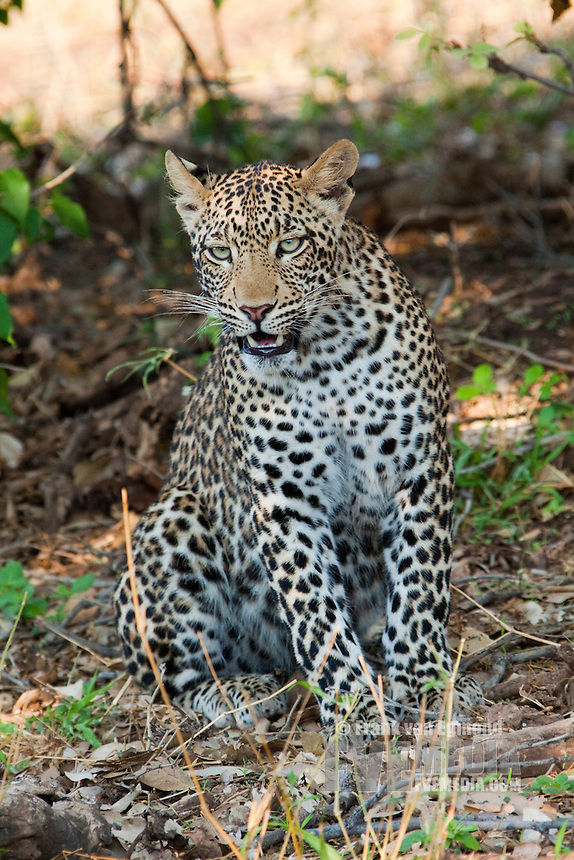African Leopard (Panthera Pardus Pardus). Near Threatened, population decreasing...Mashatu Game Reserve..Tuli block, Botswana..November 2010.