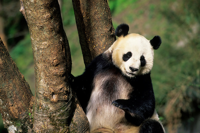 CHINA, SICHUAN PROVINCE, WOLONG PANDA RESERVE, GIANT  PANDA (Ailuropoda melanoleuca) AT TREE