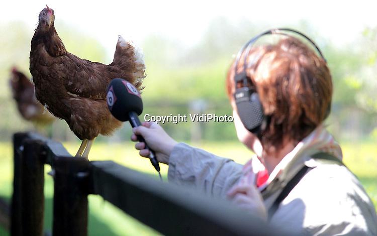 Foto: VidiPhoto..SOMEREN - Bij de biologische kippenboer Coumans uit Someren Heide is vrijdagmiddag als eerste Nederlandse kippenhouder een eind gekomen aan de ophokplicht. Coumans was de eerste die zijn kippen heeft laten vaccineren. Hij mocht ze daarom vrijdag ook als eerste weer naar buiten doen. Ongevaccineerde kippen mogen op 1 mei naar buiten. De scharrelkippen van Coumans mogen in de herfst, als de ophokplicht opnieuw van kracht wordt, waarschijnlijk buiten blijven omdat ze gevaccineerd zijn. Foto: Diepte-interview met een kip.