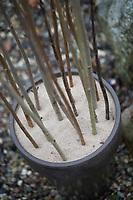 Wildbienen-Nisthilfe aus markhaltigen Stängel, Stängel, Pflanzenstängel, Stengel wie zum Beispiel Himbeere, Holunder, Beifuß. Schritt 3: die etwa 1m langen, markhaltigen Stängel werden senkrecht in einen mit Sand befüllten Blumentopf, Kübel gesteckt. Wildbienen-Nisthilfen, Wildbienen-Nisthilfe selbermachen, selber machen, Wildbienenhotel, Insektenhotel, Wildbienen-Hotel, Insekten-Hotel