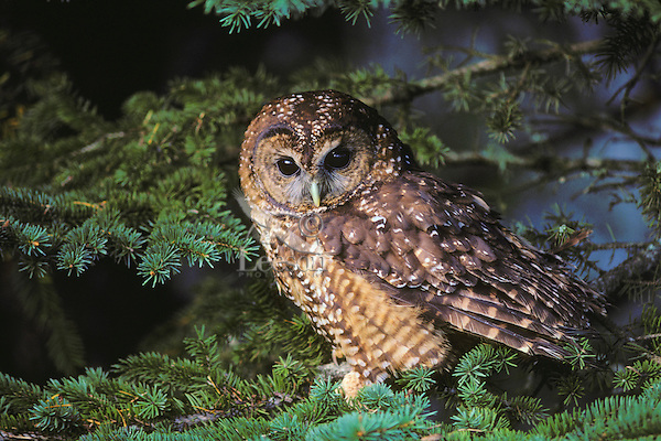 Spotted Owl (Strix occidentalis), Pacific N.W.
