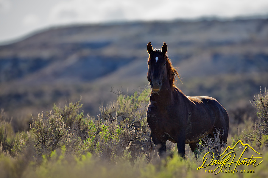 Wyoming Mustang Stallion in the desert near Rock Springs.