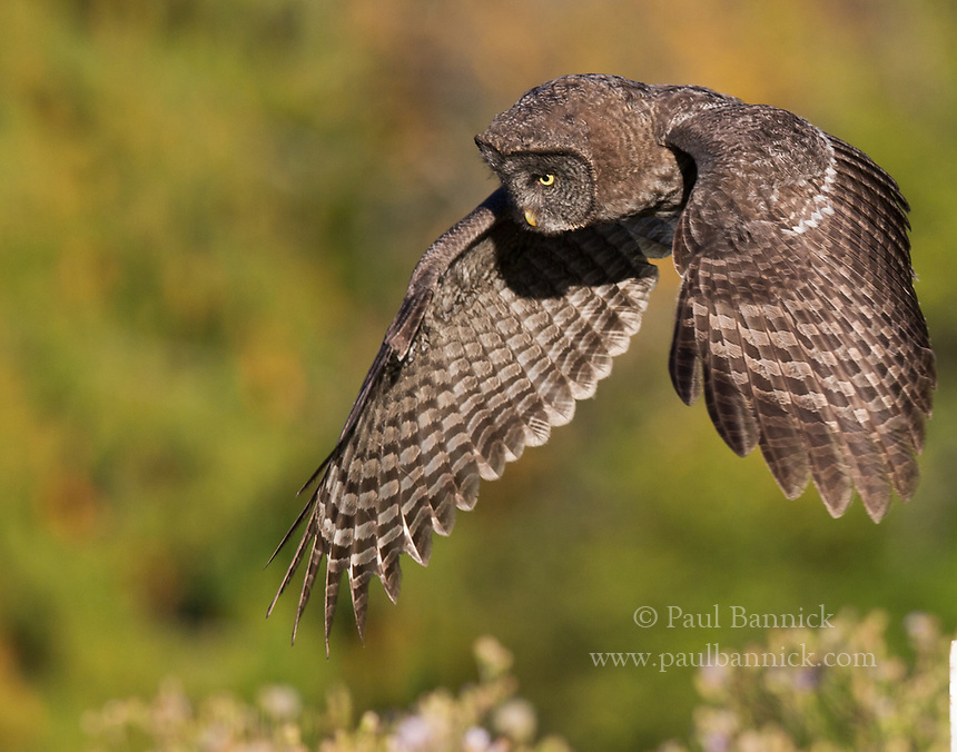 A Juvenile Great Gray Owl lifts its wings before pouncing upon prey it hears below.
