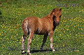 Bob, ANIMALS, REALISTISCHE TIERE, ANIMALES REALISTICOS, horses, photos+++++,GBLA3964,#a#, EVERYDAY
