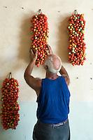 Farmer Ponsiello Giovanni hanging bunches of freshly harvested pomodorino piennolo del Vesuvio tomatoes on the wall for the winter season