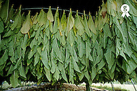 Tobacco leaves drying under shelter , Lot, France (Licence this image exclusively with Getty: http://www.gettyimages.com/detail/85071290 )