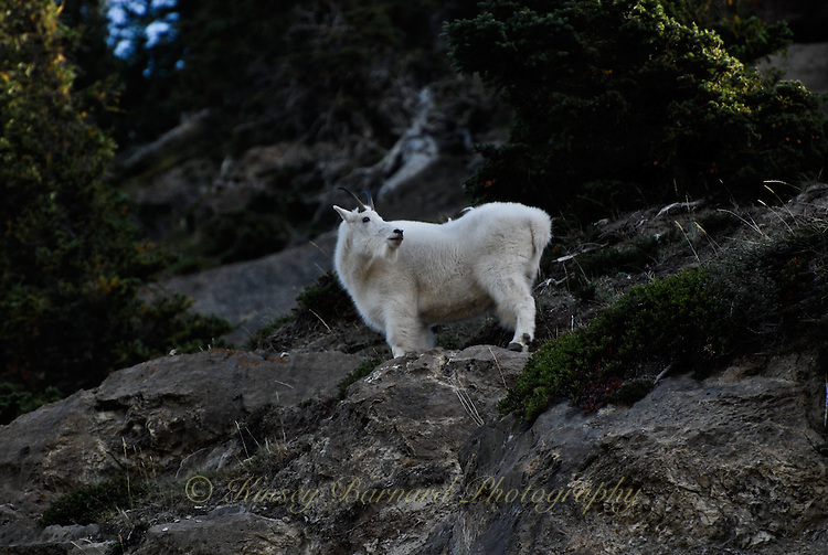 Mountain goats high in the cliffs in Jasper national Park Alberta Canada