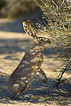 Black-tailed Jackrabbit Hare (Lepus californicus) feeding on Rabbitbrush in desert shade, Joshua Tree National Park, California