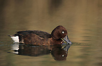 Ferruginous Duck, Aythya nyroca, male, Samos, Greek Island, Greece, May 2000