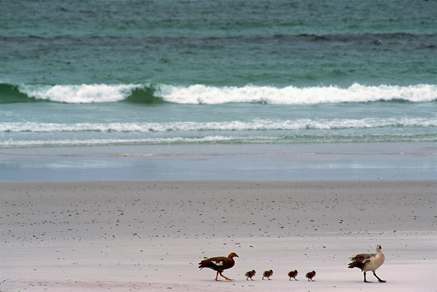 A mating pair of upland geese stroll with their chicks on a Falkland Islands beach.