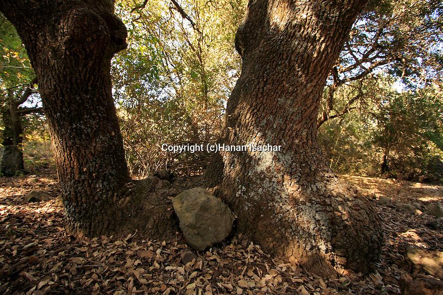 The Golan Heights. Boissier Oak (Quercus boissieri) at the Circassian cemetery near Marom Hagolan