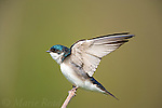 Tree Swallow (Tachycineta bicolor), stretching its wings, New York, USA