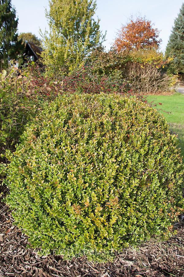 Buchsbaum, Buchs, Buxus sempervirens, common box, European box, boxwood, buis commun, buis toujours vert