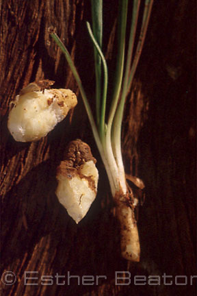 Rhizome of Yam Daisy (Microseris lanceolata) peeled to show white flesh; abundant food source for aborigines, destroyed by grazing. Gundagai area,