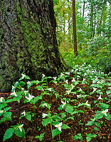 Trilliums growing at base of redwood tree in Redwood National Forest, California.
