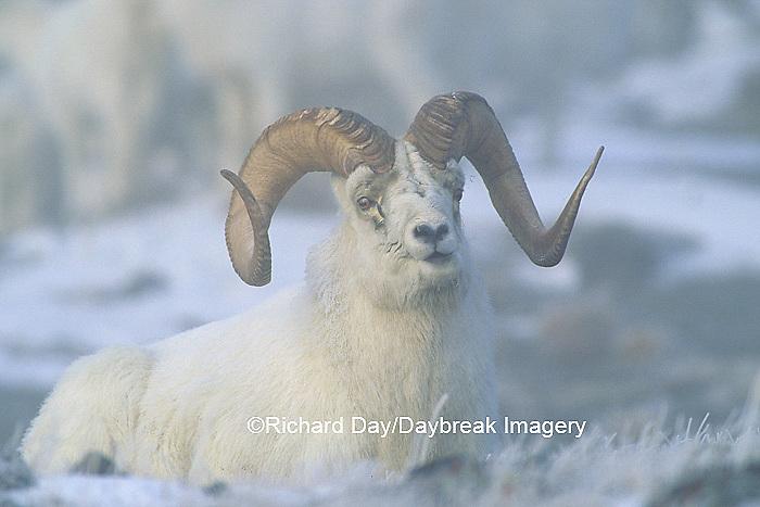01989-00207 Dall sheep (Ovis dalli) rams in fog Yukon   Canada