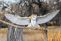 "Barn owls are one of the most common and widely disseminated owls. Unlike other owls, they do not ""hoot"" but rather issue screeches and hisses. Special adaptations make them excellent hunters. Their round faces collect sounds for hunting at night and their wings allow for silent flight."