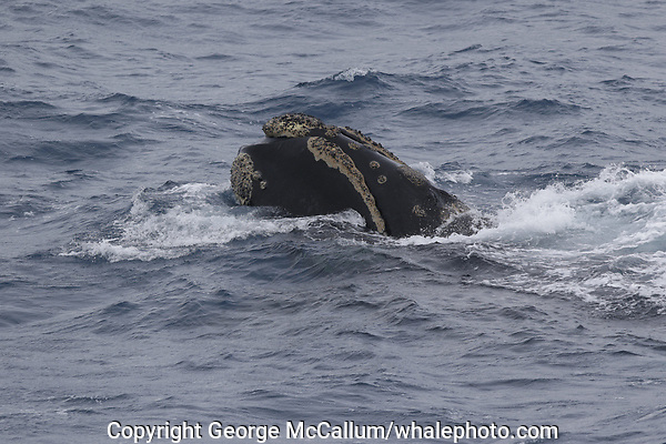 Southern Right whale Eubalaena australis, Male, Surfacing, South Orkney islands, Scotia Sea, Southern Ocean, Antarctica