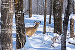 White-tailed fawn standing in the winter forest of northern Wisconsin.