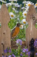 American Robin, Lumberton, New Jersey