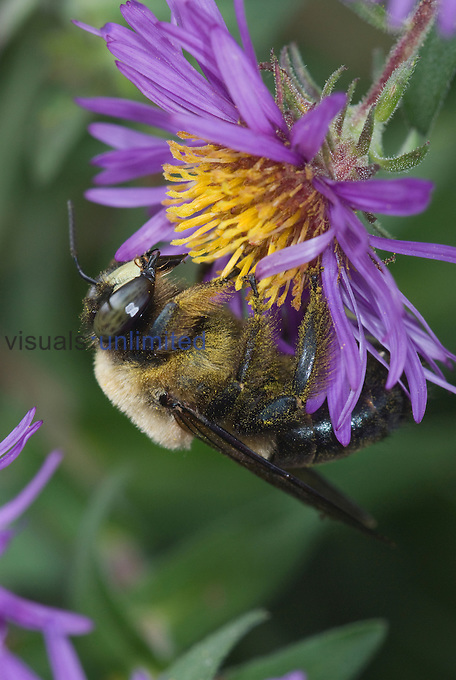 Eastern Carpenter Bee (Xylocopa virginica) male nectaring on a New England Aster flower (Symphyotrichum novae-angliae), Virginia, USA.