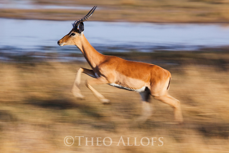Botswana, Okavango Delta, Moremi; male impala (Aepyceros melampus) running in grassland, motion blur