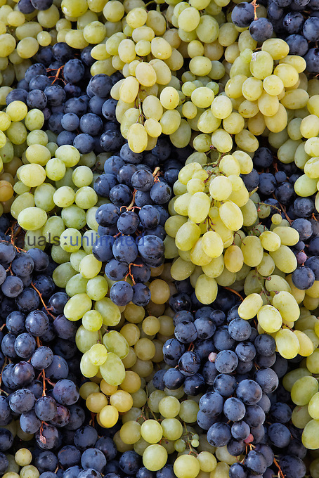 Grapes, Chianti Grape Harvest Festival, Impruneta, Italy.