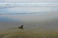 Common Murre (Uria aalge) along Oregon coast.