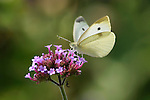 Butterfly In Motion, Cabbage White, Pieris rapae, Nectaring On Brazilian Verbena