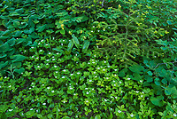 Bunchberry (Cornus canadensis) flowers creepoing under forest canopy.<br />