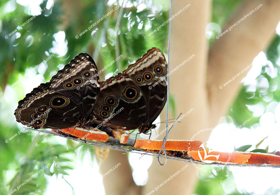 Stock photo:Two owl butterflies perched on a small swing hanging on tree, feeding on orange slices.