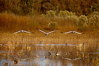 512666375 three wild sandhill cranes grus canadensis fly over a shallow pond in bosque del apache national wildlife refuge in new mexico