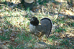 Ruffed grouse, Bonasa umbellus, game bird, gallinaceous, displaying during courtship dance<br />