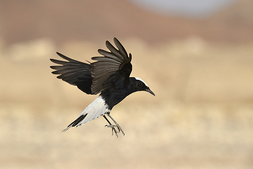 White-crowned Black Wheatear - Oenanthe leucopyga