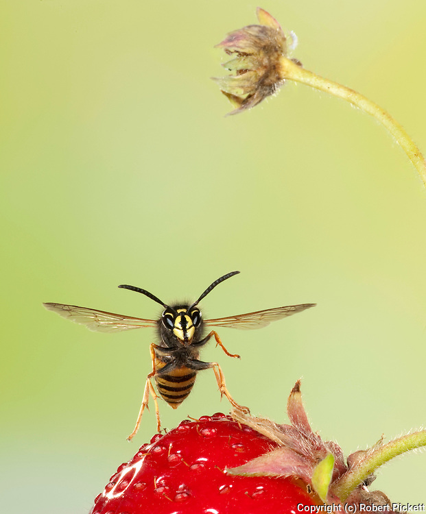 Norwegian Wasp, Vespula norvegica, In flight over strawberry fruit, free flying, High Speed Photographic Technique.United Kingdom....