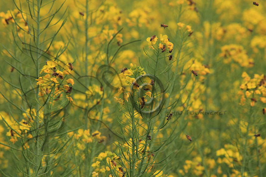 Foraging rape flowers.